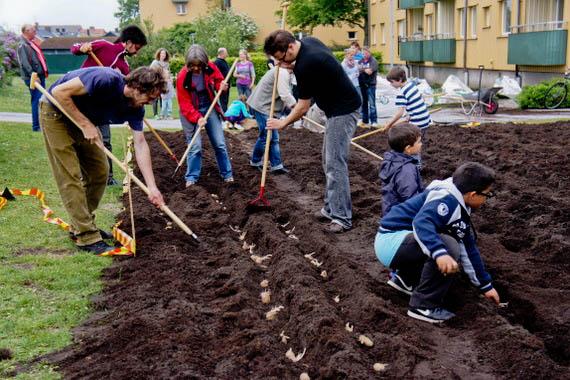 Potatisplantering på MKB:s gröning, maj 2011